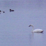 white swan and some merganser ducks