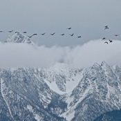 GEESE OVER FISHER PEAK!