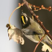 Golden-crowned kinglet and downy woodpecker