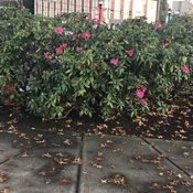 November blooming Rhododendrons