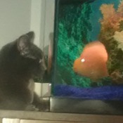 Kitten vs Fish Staring contest