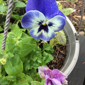 My pansy and petunia outside in below freezing weather! An amazing warm autumn.