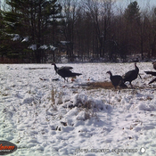 Trail cam turkeys