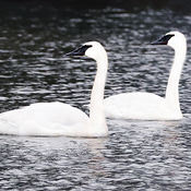 Trumpeter Swans in South Stormont