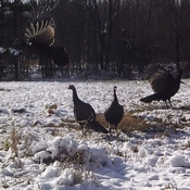 Trail cam turkeys in flight