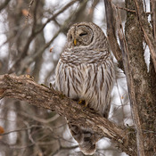 Fluffed for warmth...barred owl