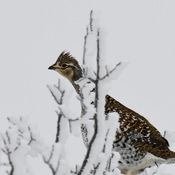 Frosty Morning Ruffed Grouse