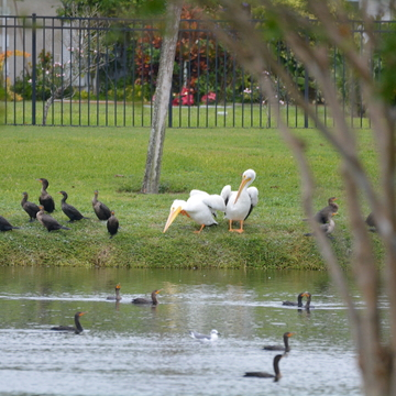 Back in the Tampa Bay/St.Petersburg area White Pelican St.Petersburg, Florida, U
