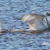 Tundra Swan motors along