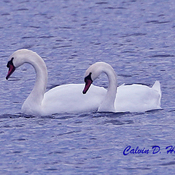 Swans on the St. Lawrence River