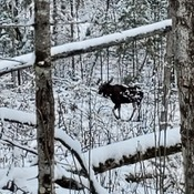 moose in deer season hung around for 4 hours