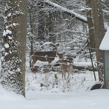 Deer enjoying my yard