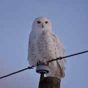 Snowy owl from late afternoon