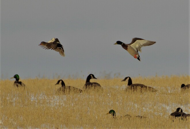 Wintering geese and ducks.. Special Area No. 2, AB