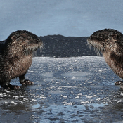 Otters near Ingleside Ontario