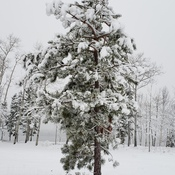 Pine tree laden down with our first Snowfall