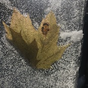 The Frozen Maple Leaf.