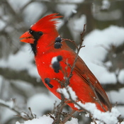 Berry loving Cardinal