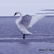 Tundra Swan showing off