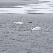 Eleven Tundra Swans