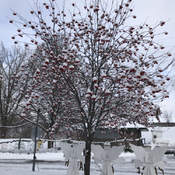 Tree covered with snow on seeds