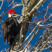 The King - the pileated woodpecker