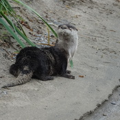 River Otter just awoken from a nap on the shore of Duffins Creek!