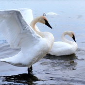 Trumpeter Swans from AIaska-