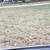 Red Fox out for her morning stroll