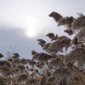 grasses in a december walk