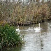 Trumpeter Swans in Duffin's Creek Marsh