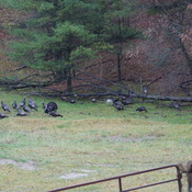 Large Wild Turkey Flock