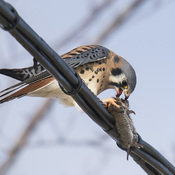 Kestrel with Mouse