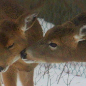 momma deer with baby