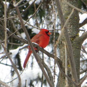 Cardinal rouge sur le Mont Royal