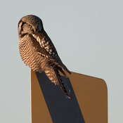 Northern Hawk Owl posing