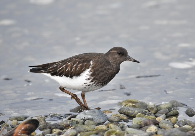 Black Turnstone Colwood, BC