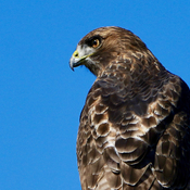 A red tail hawk