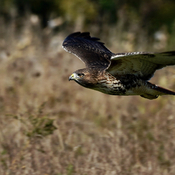 A red tail hawk in flight