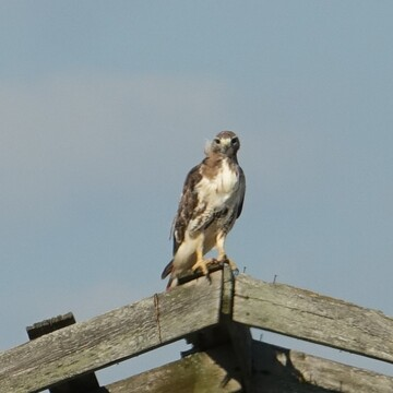 Juvenile Red Tailed Hawk on a dilapidated farm building