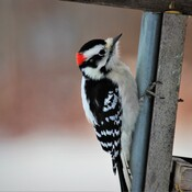 The Downy(Dainty) vs Hairy(Husky) Woodpeckers