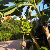 Banana Tree ~ Riviera Maya