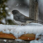 dark eyed junco georgetown, ontario, canada