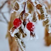 Hoar frost on rose hips