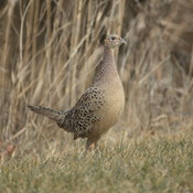 Female Ringed Neck Pheasant