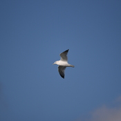 Seagull fly on Professional Lake, Brampton, Ontario