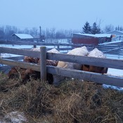 Feeding the cattle in the snow