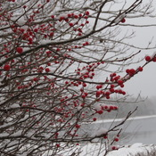 Winterberry, Growing Close to the Sea