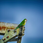 Monk Parakeet at the local substation