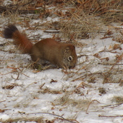 red squirrel foriging